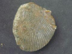 Spondylus teisenbergensis (Schafheutl 1863)