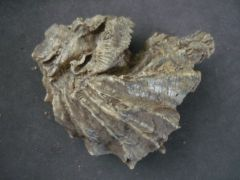 Actinostreon marshii (Sowerby 1814) & Arctostrea gregaria (Sowerby 1815)
