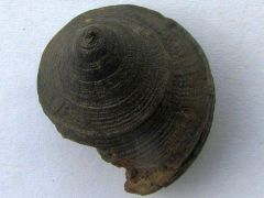 Bathrotomaria munsteri (Roemer 1839)