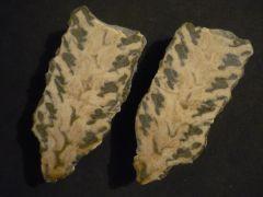 Nerinea (Parasimploptyxis) buchi (Muenster 1829)