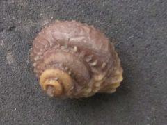 Costatrochus subduplicatus var. subduplicatus (D'Orbigny 1850)