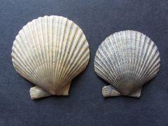 Aequipecten opercularis (Linnaeus 1758)