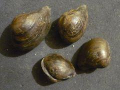 Dacryomya ovum (Sowerby 1837)