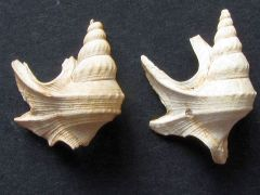Aporrhais scaldensis (van Regteren Altena 1954)