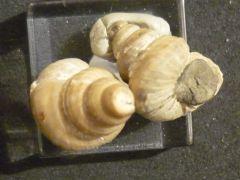 Calliomphalus (Planolateralis) gosauensis (Stolizka)