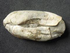 Arca (Eonavicula) aquisgranensis (J.Mueller 1859) ?
