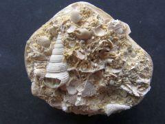 Sigmesalia intermedia (Deshayes 1823)