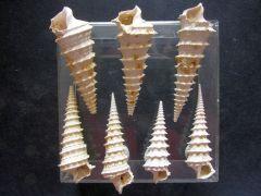 Potamides (Podamidopsis) tricarinata crispiacensis (Boussac 1906)