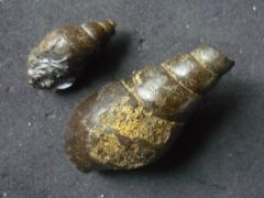 Tibia (Hippochrenes) fissura (Coquebert&Brongiart 1793)