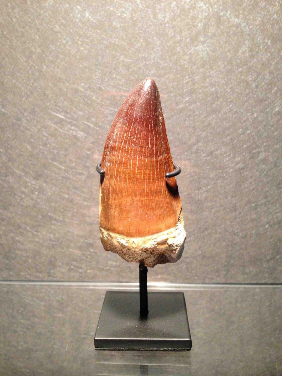 Mosasaur tooth (Prognathodon sp)