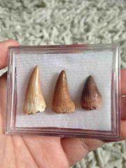 Platecarpus teeth