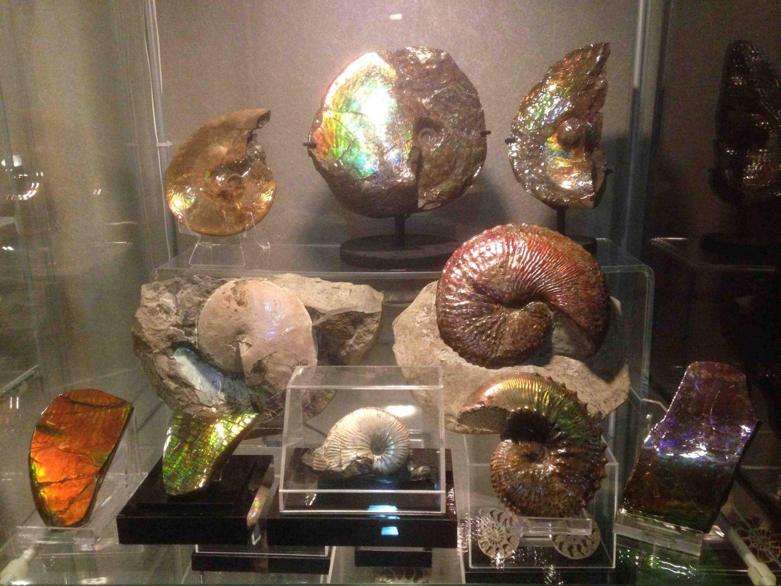 Ammonites & Ammolites