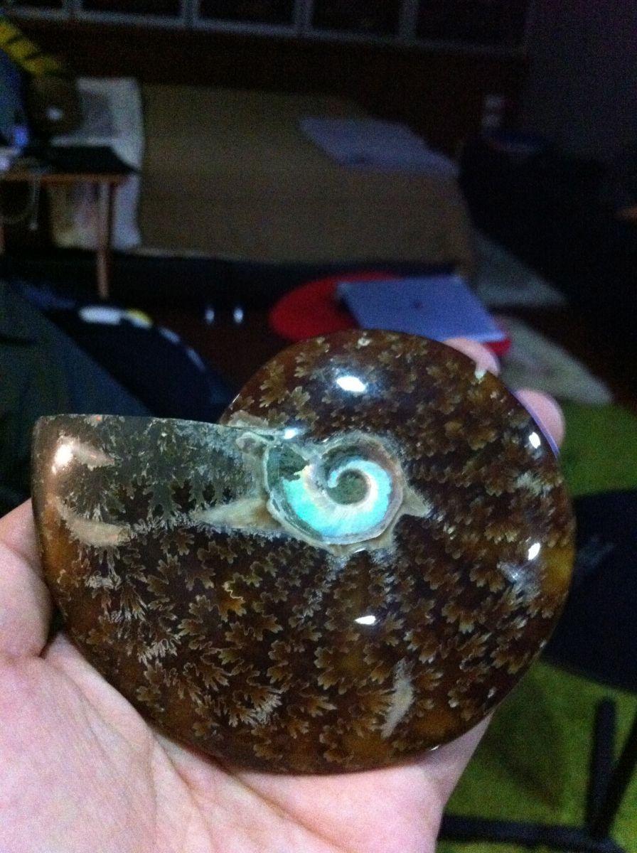 Cleoniceras Ammonite (Jade - Opalescent Core)