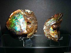 Canadian Ammolite Ammonite - Placenticeras meeki