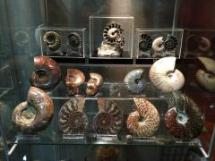 Assorted Ammonites Collection 02