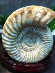 Perisphinctes Ammonite 01