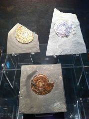 British Ammolites Collection - Psiloceras & Caloceras