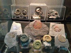 European Ammonites Collection