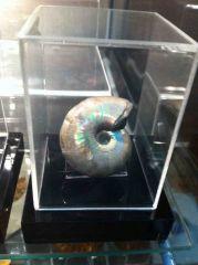 Desmoceras Ammonite