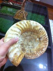 Perisphinctes Ammonite 02