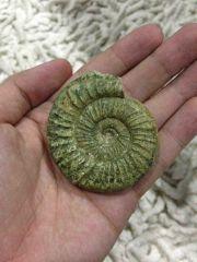 Orthosphinctes ammonite (Green)