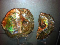 Ammolite Ammonite (Placenticeras Meeki) - 01