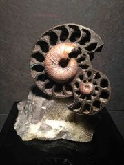 Paracadoceras - Russian Ammonite sculpture