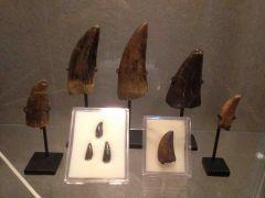 Tyrannosaurs Teeth Collection