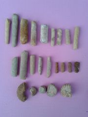 Baculites & Ammonites Eagle Ford 2013-2014