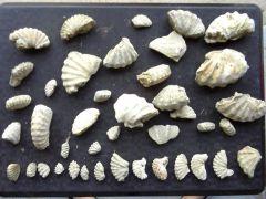Ammonites,etc fragments