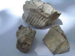 Inoceramus Mold / Cast Fossil