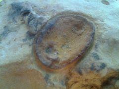 Crinoid Base Mold