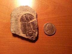 Asaphiscus Trilobite Delta Utah