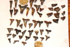 SHARK TEETH :-D  Found at the N Sulphur River (March-May) #7