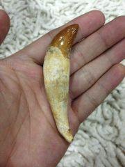 Basilosaurus Canine Tooth 01