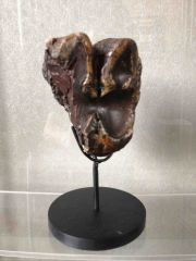 Peace River Mastodon tooth