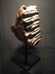 Southern Mammoth tooth