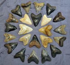 Largest Megalodon Teeth Group Photo
