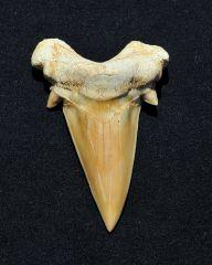 3.2 inch Otodus obliquus from Morocco