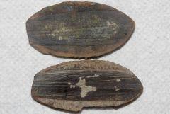 Partial Lepidostrobophyllum Cone Bracht