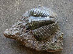 Phillipsia (Phillipsia) ornata (Portlock 1843)