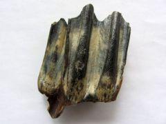 Bison priscus (Bojanus 1827)