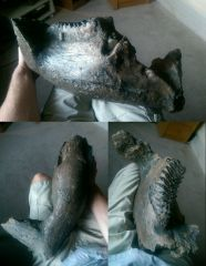 Straight Tusked elephant jaw