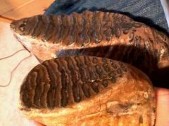 Woolly mammoth and Steppe mammoth molars