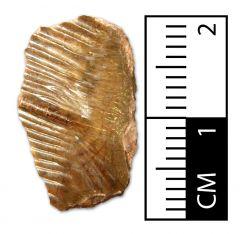 Obaichthys africanus Scale