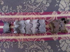 Baculites Segment