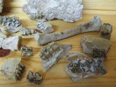 Oreodont and hyracodon Bones, 2