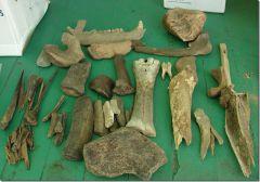 Mississippi River Fossils