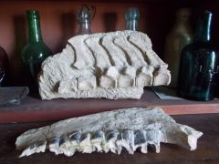 Hyracodon vertebrae and jaw