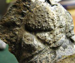 Ornamented Trilobite Cephalon from Monatague, NJ.